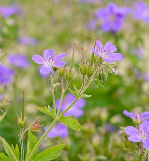 Geranium sylvaticum 'Mayflower', Wood Cranesbill 'Mayflower', Woodland Geranium, Best geraniums, Best groundcovers, Purple Geranium, Purple Cranesbill