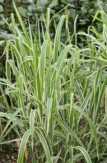 Miscanthus Sinensis var. condensatus 'Cosmopolitan', Maiden Grass 'Cosmopolitan', Eulalia 'Cosmopolitan', Chinese Silver Grass 'Cosmopolitan', Japanese Silver Grass 'Cosmopolitan', variegated Ornamental grass, Low maintenance ornamental grass