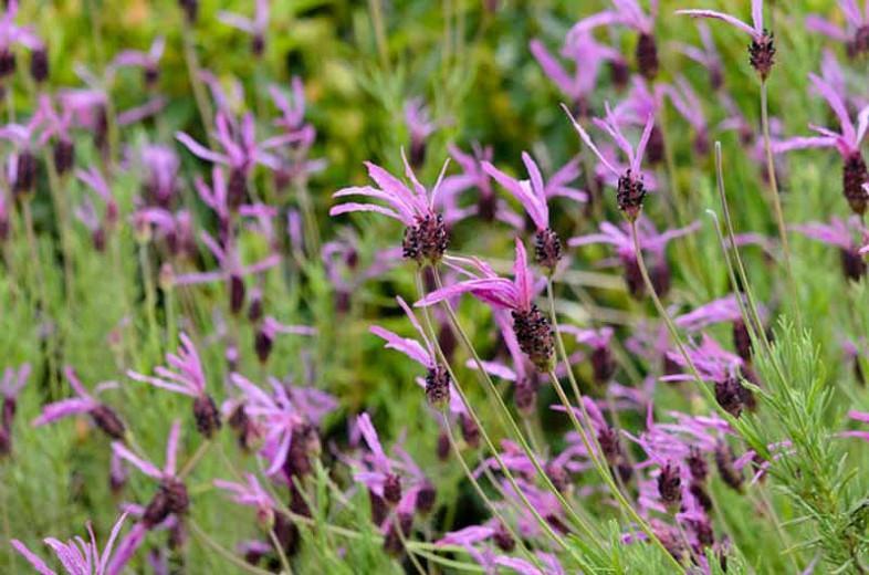 Lavandula Pedunculata subsp. Pedunculata ,French Lavender, Butterfly Lavender, Lavandula stoechas subsp. pedunculata, Lavandula Stoechas 'Butterfly', Lavandula Stoechas 'Papillon', Lavandula 'Butterfly'