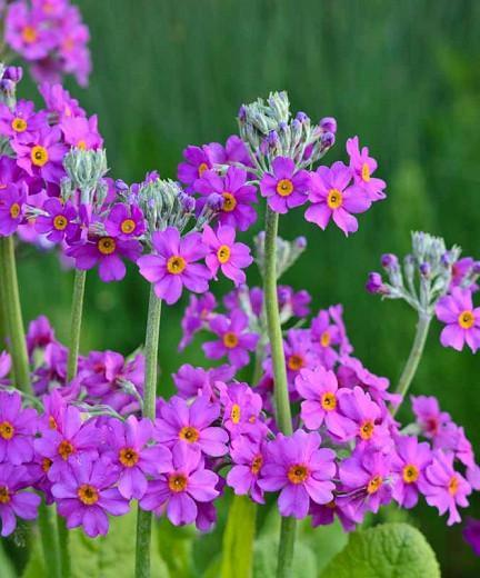 Primula Beesiana, Primrose, Candelabra Primrose, Candelabra Primula, Bee's Primrose, Shade plants, shade perennial, plants for shade, plants for wet soils
