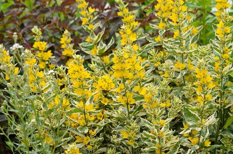 Lysimachia Punctata 'Alexander',Yellow Loosestrife  'Alexander', Whorled Loosestrife 'Alexander', Garden Loosestrife 'Alexander', Dotted Loosestrife 'Alexander', Yellow flowers