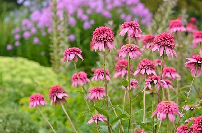 Echinacea Purpurea 'Razzmatazz',Coneflower 'Razzmatazz', Double Coneflower, Echinacea 'Razzmatazz', Rudbeckia Purpurea 'Razzmatazz', Hedgehog Coneflower 'Razzmatazz', Black Samson 'Razzmatazz'