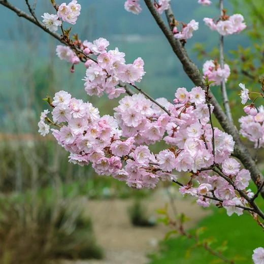 Prunus × subhirtella 'Autumnalis Rosea',Higan Cherry 'Autumnalis Rosea', Rosebud Cherry 'Autumnalis Rosea', Winter-Flowering Cherry 'Autumnalis Rosea', Flowering Shrub, Pink flowers, Winter Flowers