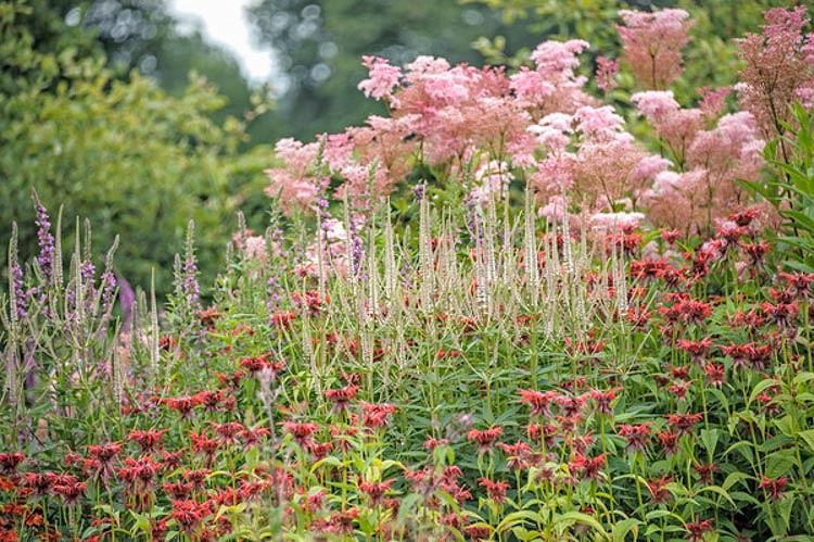 Monarda 'Squaw',Bee balm 'Squaw', Bergamot 'Squaw', red Monarda, red bee balm, red flowers