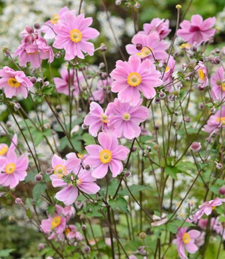 Anemone Serenade, Anemone × Hybrida Serenade, Japanese Anemone Serenade, Windflower Serenade, Late summer perennial, Pink Anemone, Fall Anemone Serenade