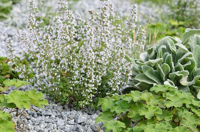 Calamintha nepeta (Lesser Calamint), Lesser Calamint, Clinopodium calamintha,  Clinopodium nepeta, Thymus minor, Thymus minus