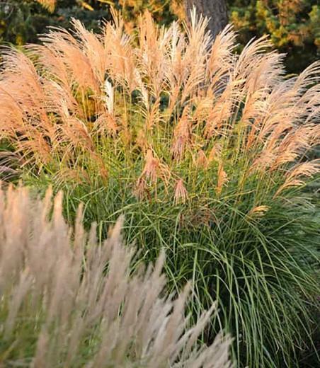 Miscanthus Sinensis 'Grosse Fontane', Maiden Grass 'Grosse Fontane', Eulalia 'Grosse Fontane', Chinese Silver Grass 'Grosse Fontane', Japanese Silver Grass 'Grosse Fontane', Low maintenance grasses, Low maintenance plants