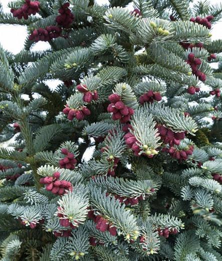 Abies procera 'Glauca', Blue Noble Fir, Noble Fir, Evergreen Conifer, Evergreen Shrub, Blue Conifer, Blue Fir