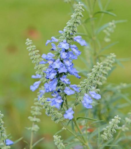 Salvia azurea var. grandiflora, Pitcher Sage, Wild Blue Sage, Prairie Sage, Salvia pitcheri, Salvia azurea subsp. pitcheri, Blue perennial, Blue Flowers
