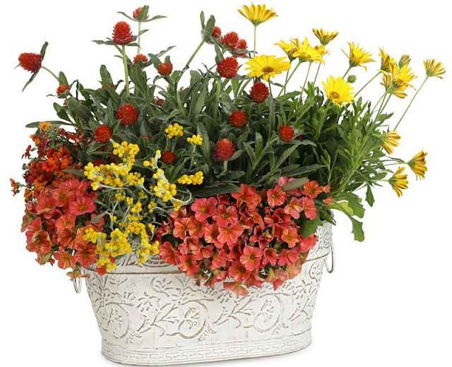 Osteospermum 'Bright Lights Yellow', African Daisy 'Bright Lights Yellow', Cape Daisy 'Bright Lights Yellow', Bright Lights Series, evergreen perennial, evergreen shrub, yellow flowers