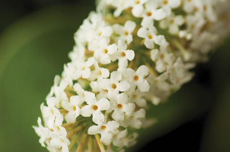 Buddleja davidii 'Buzz Ivory', Butterfly Bush 'Buzz Ivory', Summer Lilac 'Buzz Ivory', deciduous shrub, White flowers, fragrant shrub, White Butterfly Bush