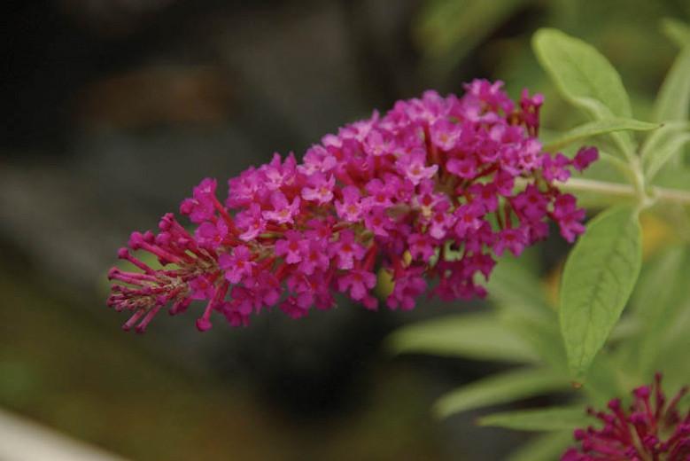 Buddleja davidii 'Buzz Magenta Improved', Butterfly Bush 'Buzz Magenta Improved', Summer Lilac 'Buzz Magenta Improved', deciduous shrub, Magenta flowers, fragrant shrub