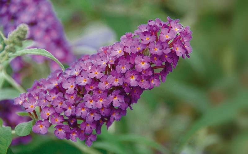 Buddleja davidii 'Buzz Magenta', Butterfly Bush 'Buzz Magenta', Summer Lilac 'Buzz Magenta', deciduous shrub, Magenta flowers, fragrant shrub