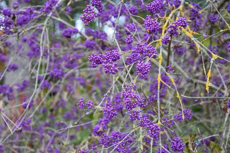 Callicarpa bodinieri var. giraldii 'Profusion', Beautyberry 'Profusion', Callicarpa bodinieri 'Profusion', Purple Beautyberry, Shrub, Purple Berries