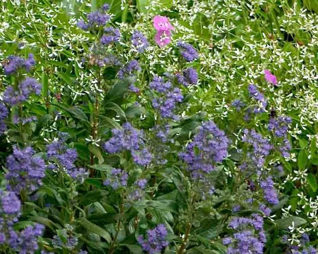 Caryopteris x clandonensis 'Minbleu', Bluebeard 'Minbleu', Caryopteris x 'Minbleu', Caryopteris x clandonensis 'Petit Bleu', Petit Bleu Bluebeard, Petit Bleu Blue Mist Spiraea, Blue Flowers, Blue Spiraea