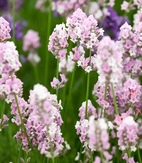 Lavandula Angustifolia Miss Katherine', English Lavender 'Miss Katherine', Lavender 'Miss Katherine', Lavandula 'Miss Katherine', Pink Lavenders, Drought tolerant plant, Summer blooms, Deer resistant plants, fragrant flowers