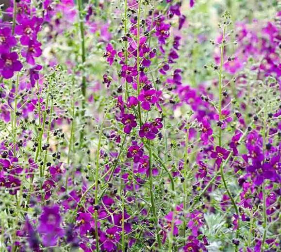 Verbascum Violetta', Verbascum phoeniceum 'Violetta', 'Violetta' Mullein, Verbascum 'Violetta', purple mullein 'Violetta', Purple flowers,  Architectural plants, Vertical Plants, Deer Tolerant perennials,