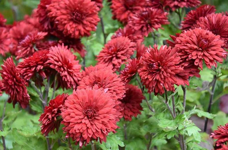 Chrysanthemum 'Ruby Mound', Garden Mum 'Ruby Mound', Florist's Mum 'Ruby Mound', Hardy Garden Mum Ruby Mound, Dendranthema Ruby Mound, Red Chrysanthemum, Fall Flowers