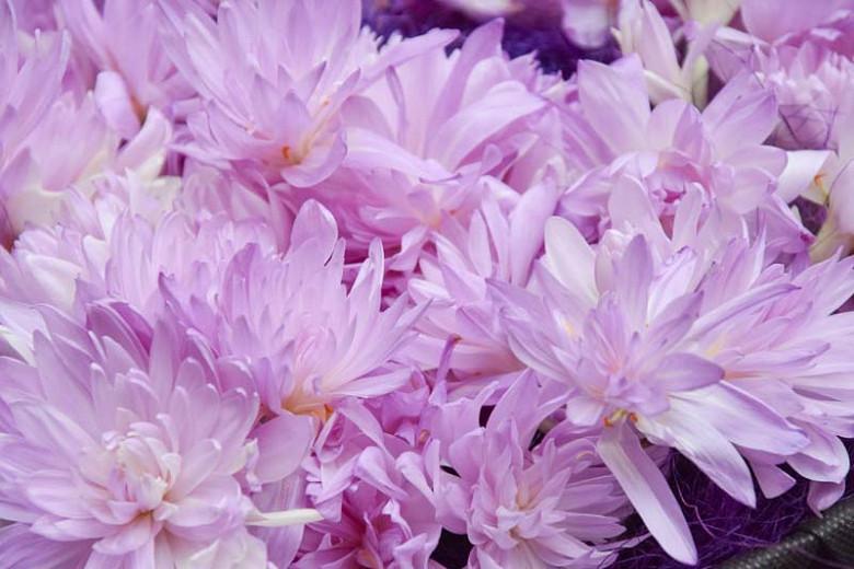 Colchicum 'Waterlily',Meadow Saffron 'Waterlily', Double Autumn Crocus, Hybrid Autumn Crocus, 'Waterlily' Autumn Crocus, fall crocus, Autumn crocus, Crocus autumnale, pink flowering bulb