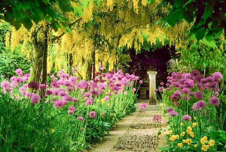 Laburnum × watereri 'Vossii', Golden Chain Tree, Bean Tree, Yellow Flowers