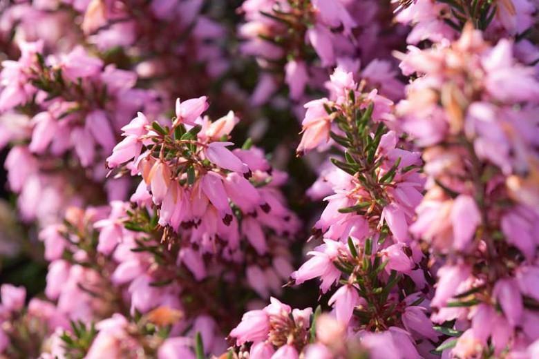 Erica Carnea 'March Seedling', Winter Heath 'March Seedling', Heather 'March Seedling', Snow Heath 'March Seedling', Spring Heath 'March Seedling', Alpine Heath 'March Seedling'