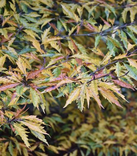 Fagus sylvatica var. heterophylla 'Aspleniifolia', Fern-Leaved Beech 'Aspleniifolia', Fagus sylvatica 'Aspleniifolia', Fagus sylvatica f. laciniata 'Aspleniifolia', Deciduous Tree, Fall
