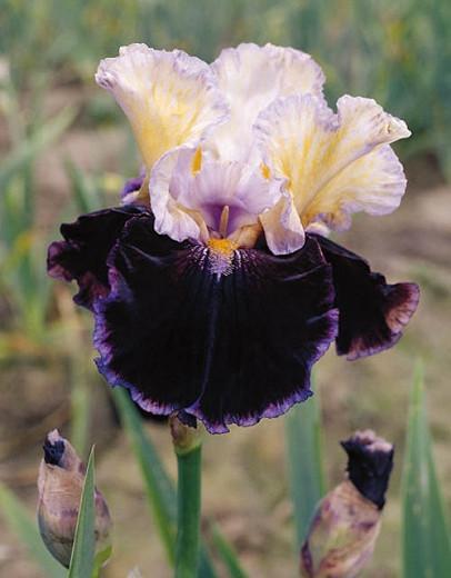 Iris 'Finalist', Tall Bearded Iris 'Finalist', Iris Germanica 'Finalist', Late Season Irises, White Irises, Purple Irises, Bicolor Irises
