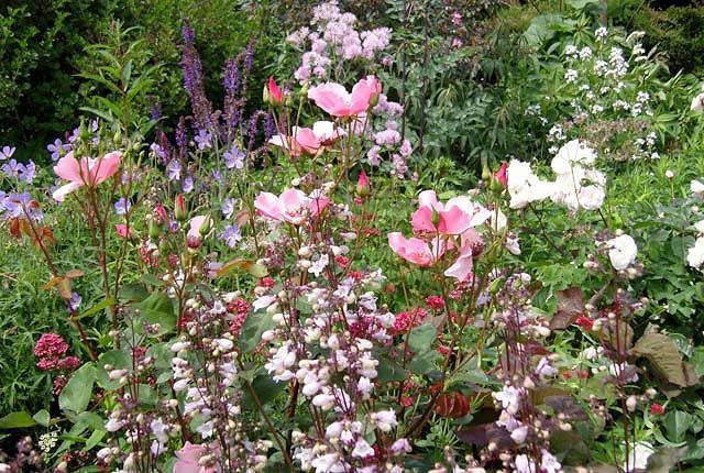 Rosa Glauca,Redleaf Rose, Red-Leaved rose, Rosa ferruginea, Rosa rubrifolia, Shrub Roses, pink roses, fragrant roses
