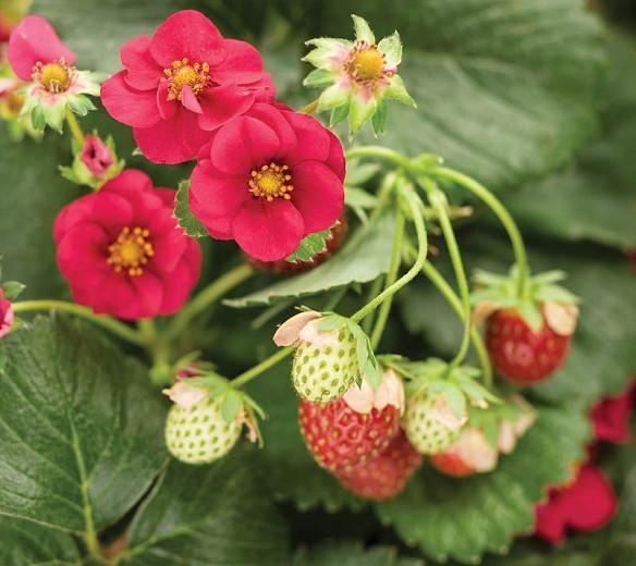 Fragaria Berried Treasure Red, Everbearing Strawberry 'Berried Treasure Red', Strawberry 'Berried Treasure Red', evergreen shrub, Strawberries, Red Fruit, Red flowers