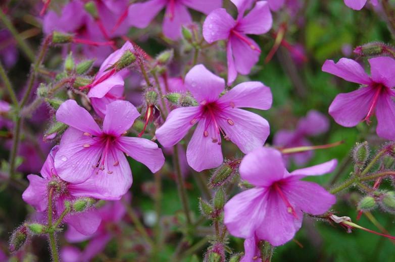 Geranium palmatum, Canary Island Cranesbill, Canary Island Geranium, Geranium anemonifolium, purple geranium, pink geranium, evergreen geranium