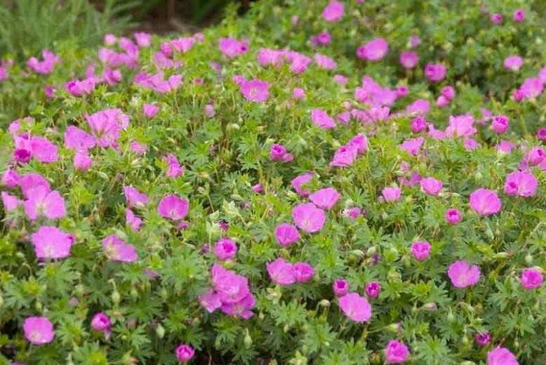 Geranium Sanguineum 'Max Frei', Bloody Cranesbill 'Max Frei', Bloody Geranium 'Max Frei', Hardy Geranium 'Max Frei', Purple Geranium, Purple Flowers
