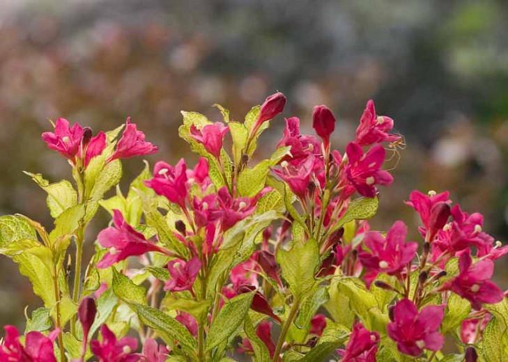 Weigela florida 'Ghost', Ghost Weigela, Flowering Shrub, Flowers, Pink Flowers, Red Flowers, Chartreuse Foliage, Golden Leaves