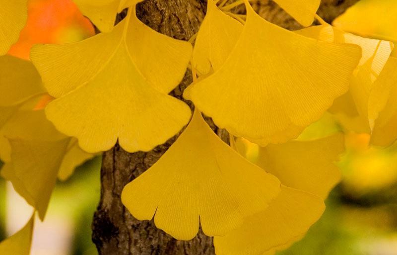 Ginkgo biloba 'Autumn Gold',Maidenhair Tree 'Autumn Gold', Fossil Tree 'Autumn Gold', Icho 'Autumn Gold', Fall color,