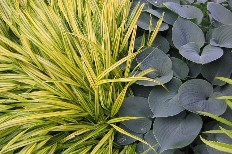 Hosta Hadspen Blue, Plantain Lily 'Hadspen Blue', 'Hadspen Blue' Hosta, Hosta × tardiana 'Hadspen Blue', Blue Hosta, Shade perennials, Plants for shade