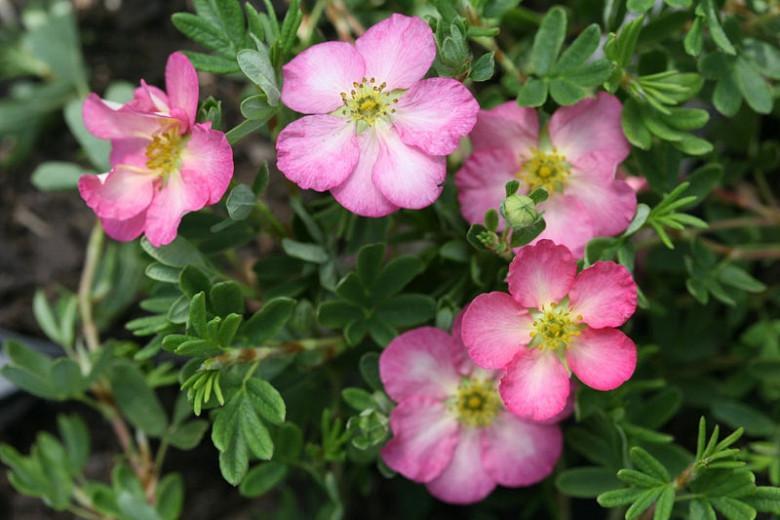 Potentilla fruticosa 'Happy Face Hearts', Shrubby Cinquefoil 'Happy Face Hearts', Cinquefoil 'Happy Face Hearts', Pink Potentilla, Pink Flowers