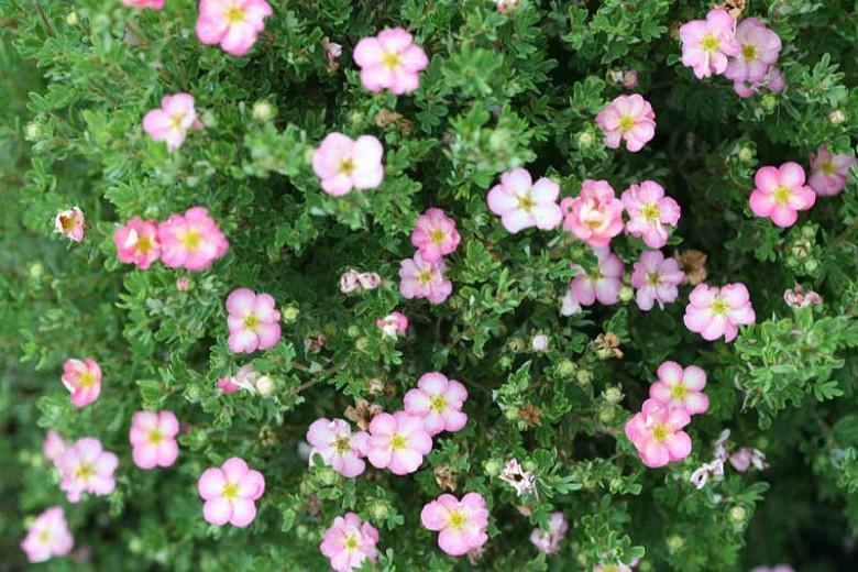 Potentilla fruticosa Happy Face Hearts®, Shrubby Cinquefoil Happy Face Hearts®, Cinquefoil Happy Face Hearts®, Pink Potentilla, Pink Flowers