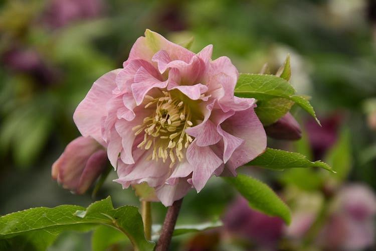 Helleborus × Hybridus 'Double Ellen Pink', Hellebore 'Double Ellen Pink', Lenten Rose 'Double Ellen Pink', Pink Hellebore, Double Hellebore