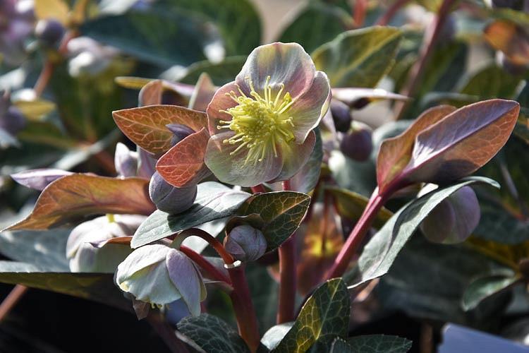 Helleborus Lividus,Majorcan Hellebore, Blue-Grey Hellebore, Purple Hellebore, Pink flowers, Pink Hellebores, shade plants