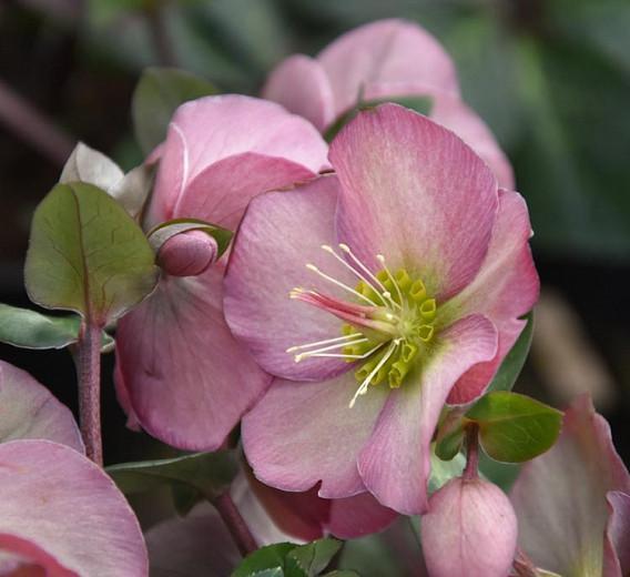 Helleborus 'Penny's Pink',Hellebore 'Penny's Pink', Lenten Rose 'Penny's Pink', Rodney Davey Marbled Group, Pink Hellebore, Single Hellebore