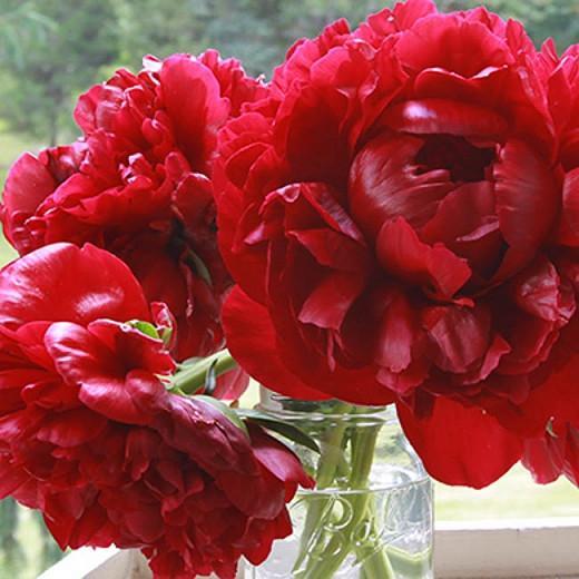 Paeonia 'Henry Bockstoce', Peony 'Henry Bockstoce', 'Henry Bockstoce' Peony, Red Peonies, Red Flowers, Fragrant Peonies