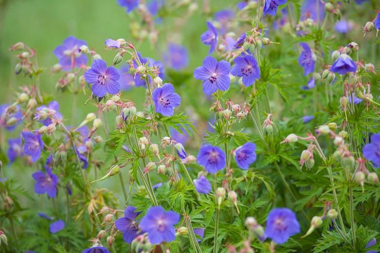 Geranium Pratense, Meadow Cranesbill, Common Cranesbill, Crowfoot, Meadow Geranium, Wild Geranium,Hardy Geranium, Blue Geranium, Best geraniums, Best groundcovers, Purple geranium