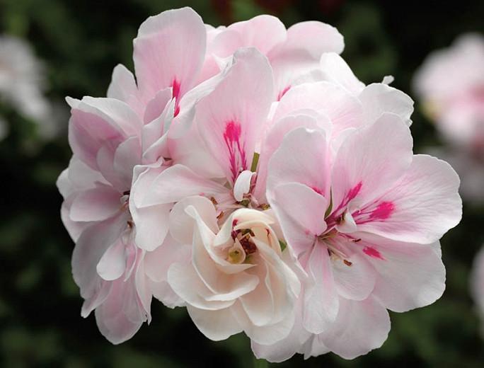 Pelargonium peltatum Temprano White, Ivyleaf Geranium Temprano White, Ivy Geranium 'Temprano White, Drought tolerant flowers, White flowers, Perennial Geranium