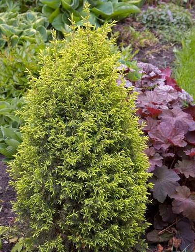 Juniperus communis 'Gold Cone', Common Juniper 'Gold Cone', Juniper 'Gold Cone', Evergreen Shrub, Evergreen Tree, Golden conifer, Golden shrub