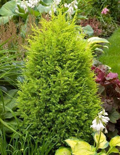 Chamaecyparis Pisifera 'Filifera Aurea', Sawara Cypress 'Filifera Aurea', Japanese Cypress 'Filifera Aurea', evergreen shrub, golden shrub