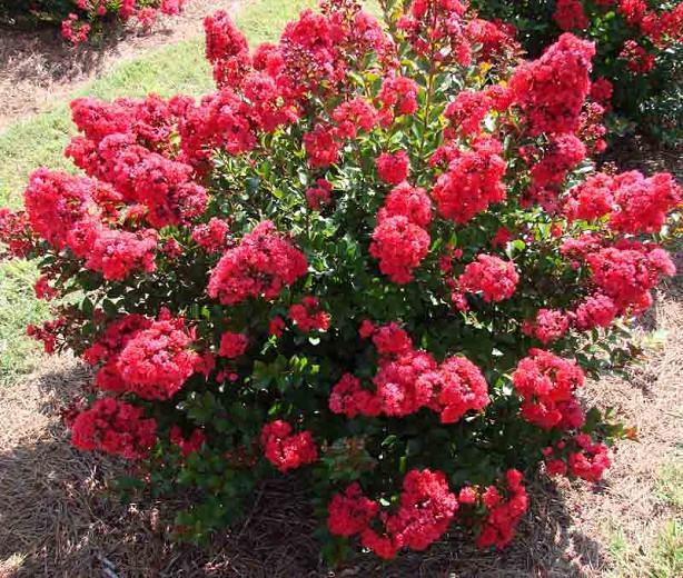 Lagerstroemia 'Red Magic™', Crape Myrtle 'Red Magic™', Crapemyrtle 'Red Magic™', Shrub, Red Flowers, Red Crape Myrtle, Red Flowers, Red Crape Myrtle
