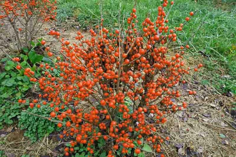 Ilex Verticillata Little Goblin® Orange, Winterberry Little Goblin® Orange, orange berries, evergreen shrub, American winterberry, Aquifoliaceae, Berry, holly, Ilex, winter shrub