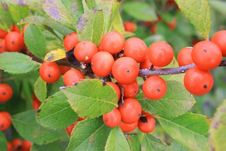 Ilex Verticillata 'Little Goblin Orange', Winterberry 'Little Goblin Orange', orange berries, evergreen shrub, American winterberry, Aquifoliaceae, Berry, holly, Ilex, winter shrub
