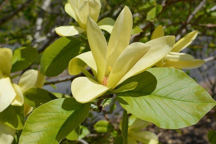 Magnolia 'Solar Flair, Solar Flair Magnolia, Yellow magnolia, Winter flowers, Spring flowers, Yellow flowers, fragrant trees, fragrant flowers