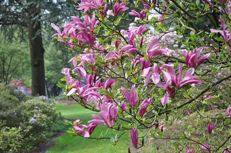 Magnolia 'Susan', Susan Magnolia, Pink magnolia, Winter flowers, Spring flowers, Pink flowers, fragrant trees, fragrant flowers, Purple Magnolia, Purple flowers