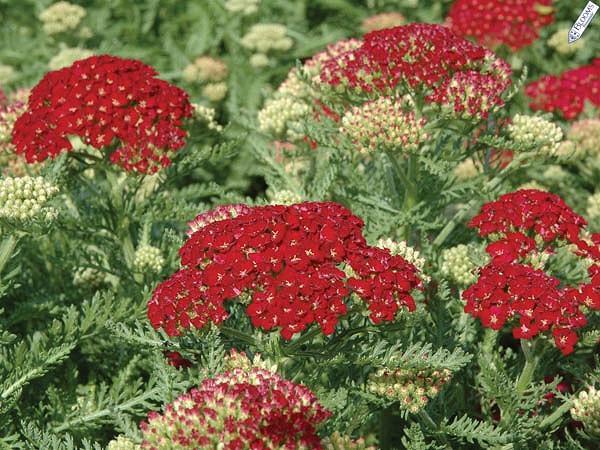 Achillea Millefolium 'Pomegranate', Achillea 'Pomegranate', 'Pomegranatet' Yarrow, Common Yarrow, Achillea Millefolium, yarrow plant, yarrow flower, summer perennial, drought tolerant perennial, red flowers